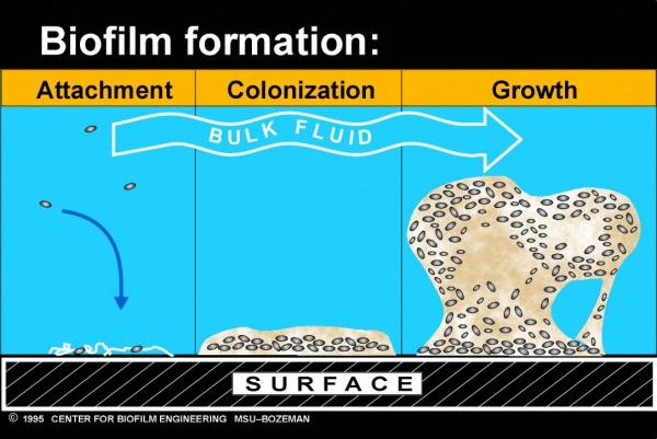 ขั้นตอนการสร้างไบโอฟิล์มของแบคทีเรีย ที่มา https://www.uweb.engr.washington.edu/research/tutorials/biofilm.html