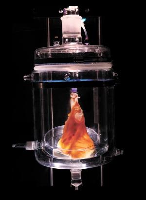 หัวใจที่ถูกนำเซลล์ต่างๆ ออกไปแล้ว ที่รอเพียงแค่การนำเซลล์ต้นกำเนิดฉีดเข้ามาเพื่อสร้างเป็นหัวใจใหม่